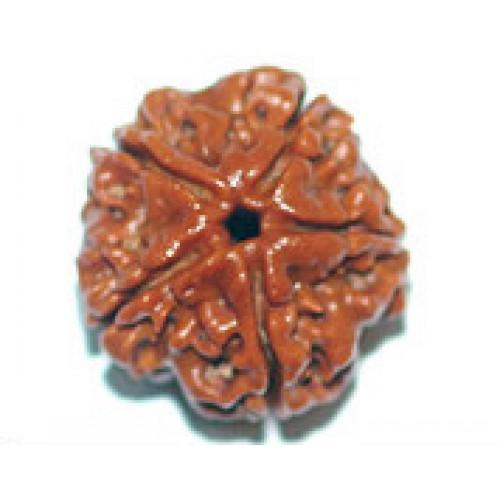Rudraksha fιve mukhi (πέντε όψεις)
