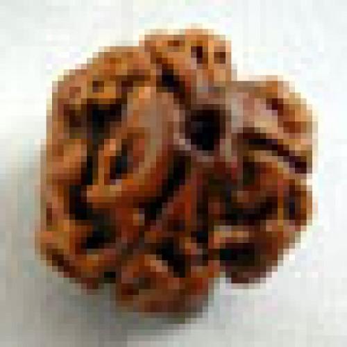 Rudraksha three mukhi (τρεις όψεις)