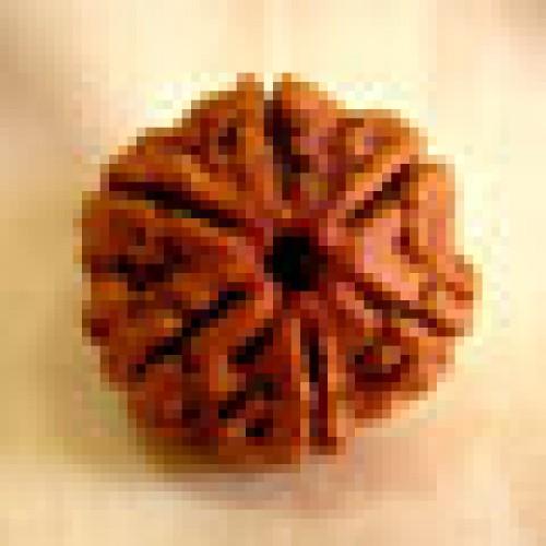 Rudraksha six mukhi (έξι όψεις)