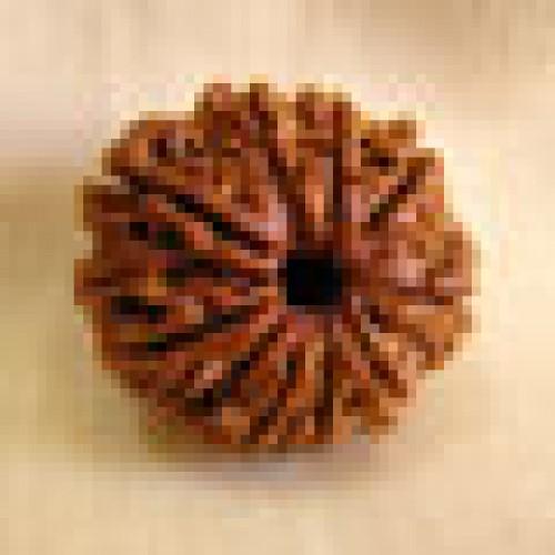 Rudraksha nine mukhi (εννέα όψεις)