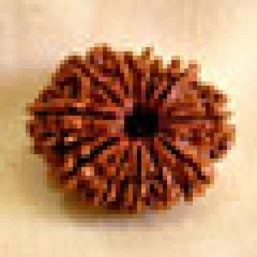 Rudraksha twelve mukhi (δώδεκα όψεις)