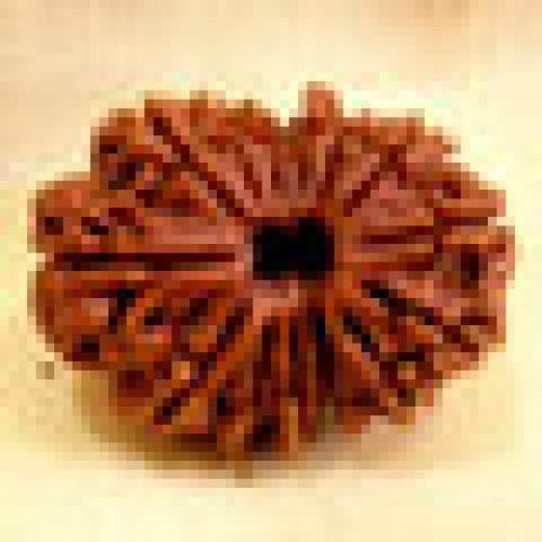 Rudraksha fourteen mukhi (δεκατέσσερεις όψεις)